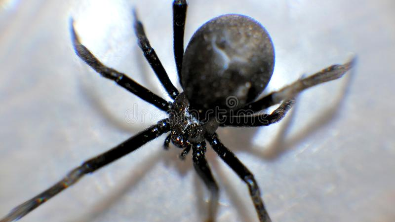 Μαύρες μακρο στενές επάνω αράχνες χηρών ανατριχιαστικές στοκ φωτογραφία