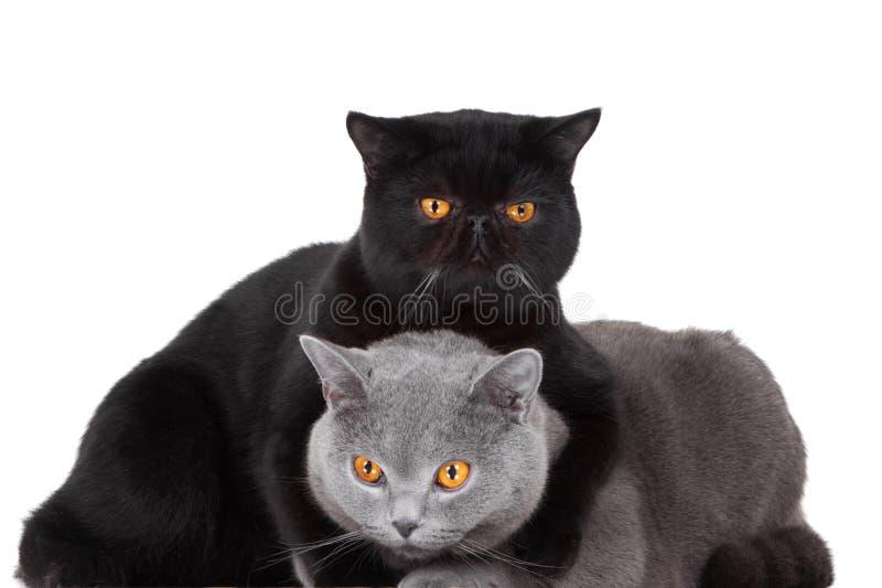 μαύρες μπλε βρετανικές γάτες περσικές στοκ φωτογραφία