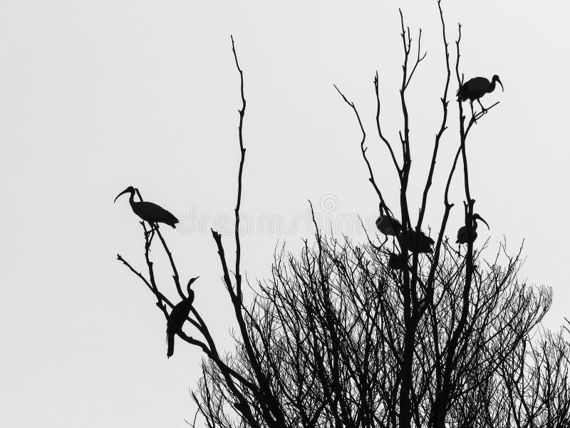 Μαύρες σκιαγραφίες και μορφές των πουλιών και του δέντρου στοκ εικόνα με δικαίωμα ελεύθερης χρήσης
