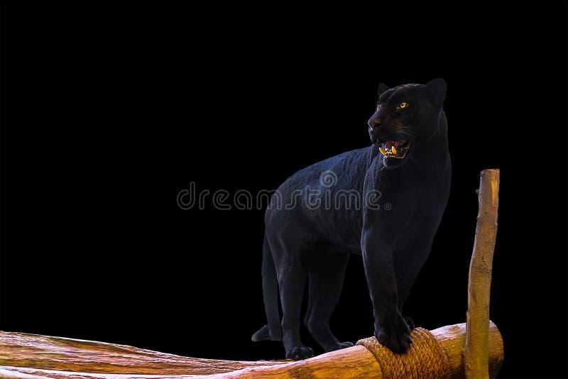 Μαύρες στάσεις πάνθηρων σε ένα ξύλο στο μαύρο υπόβαθρο στοκ εικόνα με δικαίωμα ελεύθερης χρήσης