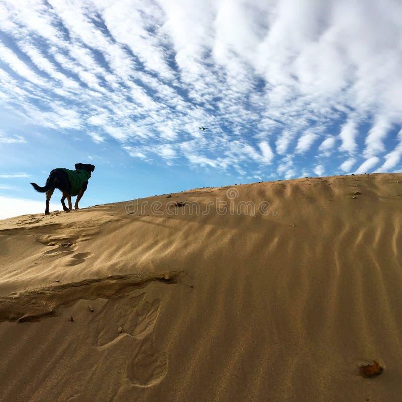 Μαύρες στάσεις σκυλιών στον αμμόλοφο άμμου στοκ φωτογραφίες με δικαίωμα ελεύθερης χρήσης