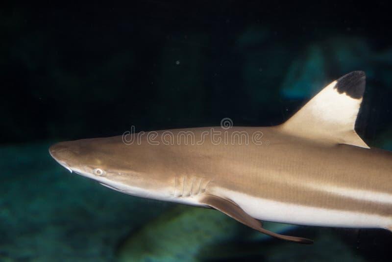 μαύρη άκρη καρχαριών στοκ φωτογραφίες με δικαίωμα ελεύθερης χρήσης