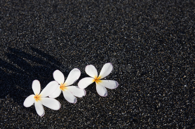 μαύρη άμμος τρία plumeria στοκ εικόνες με δικαίωμα ελεύθερης χρήσης
