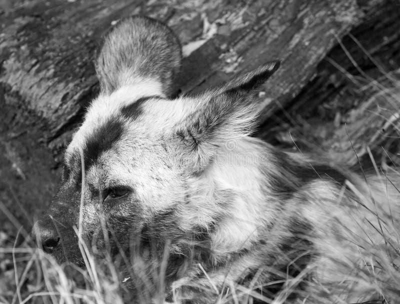 Μαύρη άσπρη εικόνα 7 ενός αφρικανικού άγριου σκυλιού που στηρίζεται και μερικώς κρυμμένος από τη χλόη στοκ εικόνες