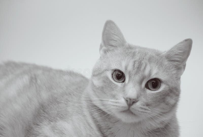 Μαύρη άσπρη φωτογραφία της γάτας στοκ εικόνα