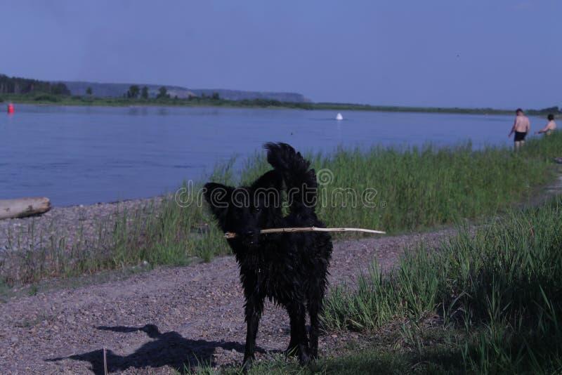 μαύρη αλεπού στοκ εικόνα με δικαίωμα ελεύθερης χρήσης