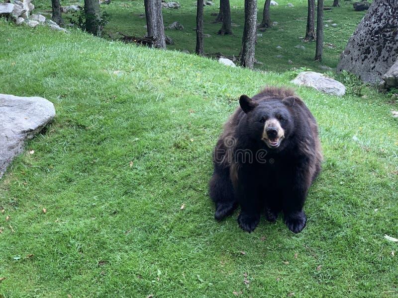 Μαύρη Αρκούδα Στο Φυσικό Περιβάλλον Της Άγριας Ζωής Στο Πάρκο Του Βουνού Παππού στοκ εικόνα