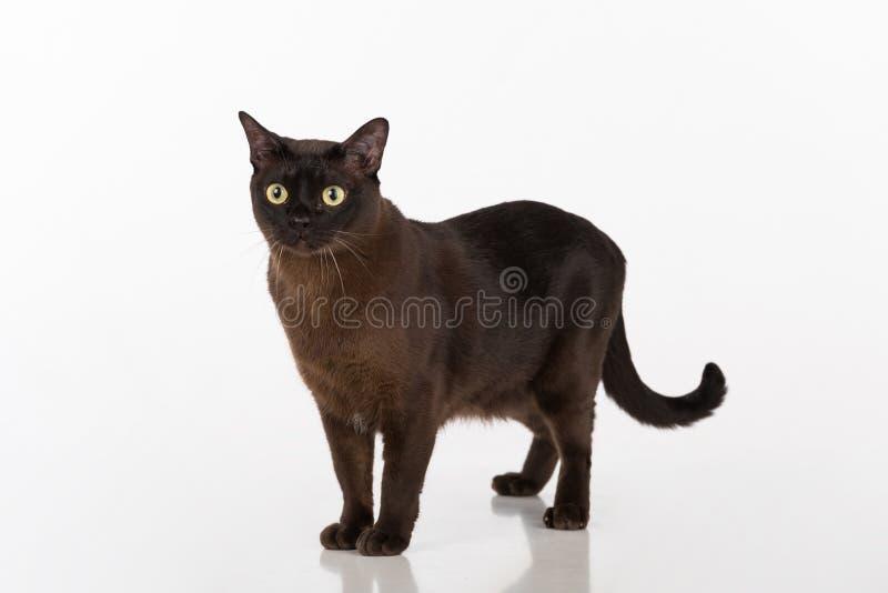 Μαύρη βιρμανίδα γάτα η ανασκόπηση απομόνωσε το λευκό στοκ φωτογραφίες με δικαίωμα ελεύθερης χρήσης