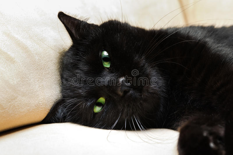 Μαύρη γάτα πάνθηρων στοκ εικόνες