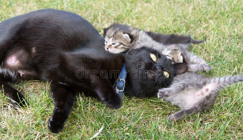 Μαύρη γάτα που παίζει με την τα μικρά γατάκια στοκ φωτογραφίες