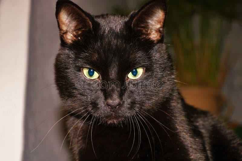 Μαύρη γάτα Marsik, κινηματογράφηση σε πρώτο πλάνο διανυσματική απεικόνιση
