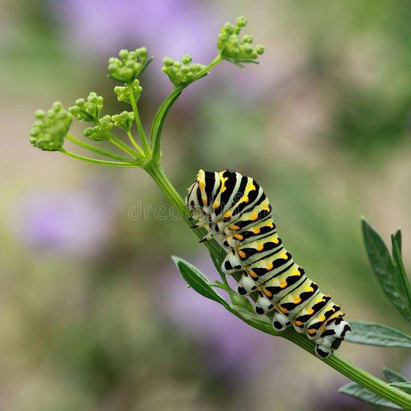 μαύρη κάμπια swallowtail στοκ φωτογραφία
