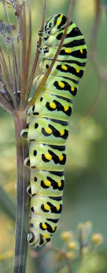 μαύρη κάμπια swallowtail στοκ φωτογραφίες με δικαίωμα ελεύθερης χρήσης