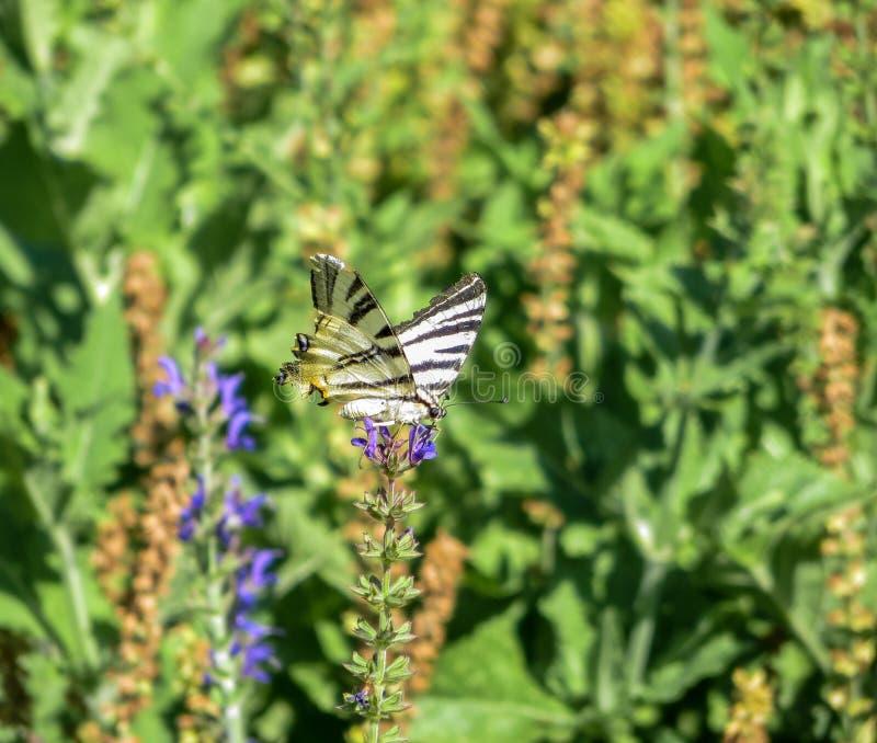 Μαύρη και κίτρινη ριγωτή πεταλούδα στο πορφυρό λουλούδι στοκ φωτογραφία με δικαίωμα ελεύθερης χρήσης
