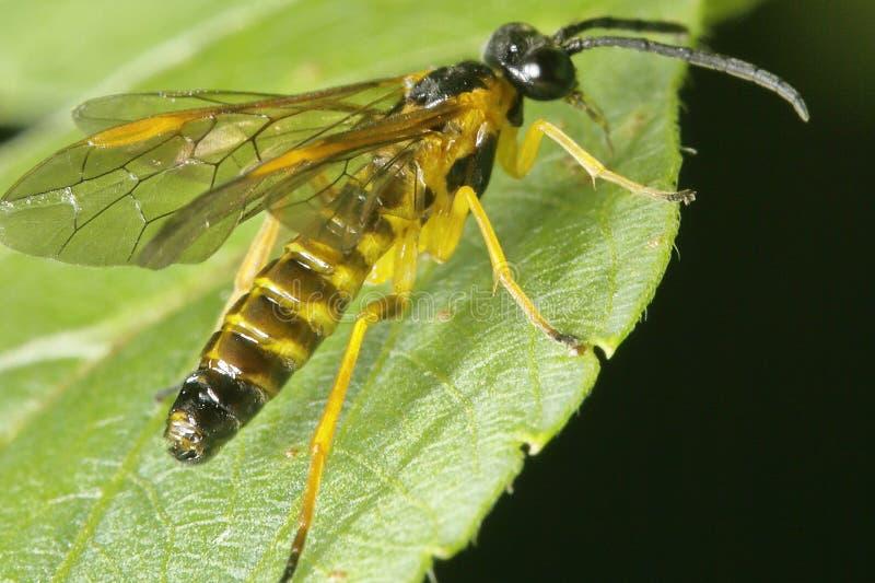 Μαύρη και κίτρινη σφήκα όπως το έντομο που περιμένει σε ένα θήραμα στοκ εικόνες με δικαίωμα ελεύθερης χρήσης