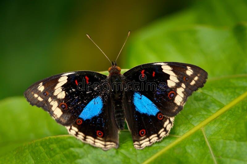 Μαύρη και μπλε συνεδρίαση πεταλούδων στην πράσινη άδεια στη δασική όμορφη πεταλούδα μπλε Pansy, oenone Junonia, έντομο στο ν στοκ εικόνες