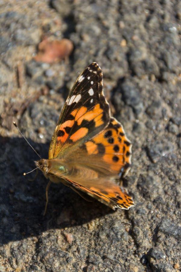 Μαύρη και πορτοκαλιά πεταλούδα στο εθνικό πάρκο Καναδάς Λα Mauricie στοκ εικόνες