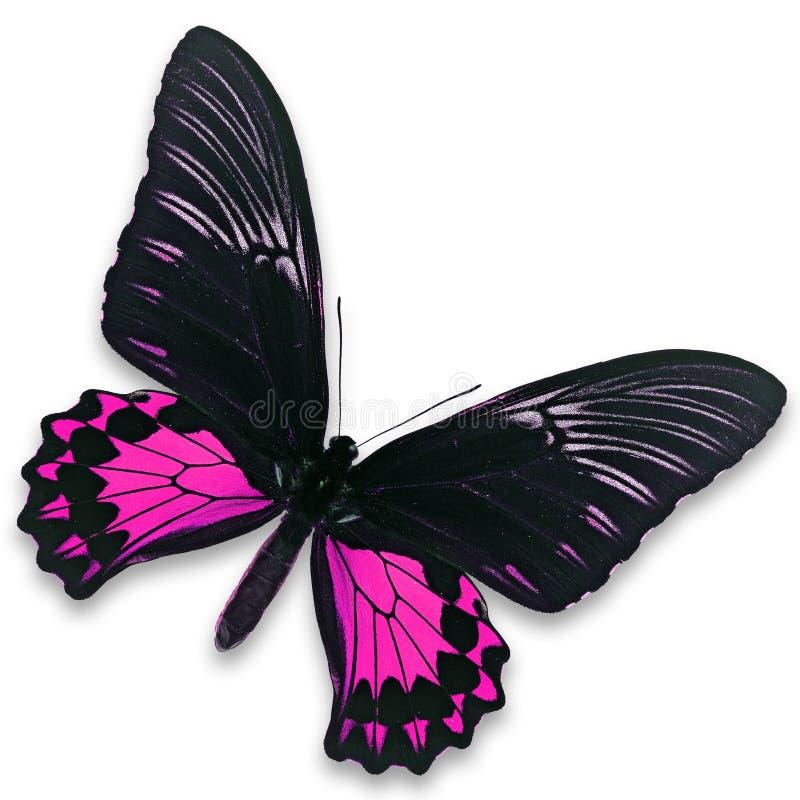 Μαύρη και ρόδινη πεταλούδα στοκ εικόνες με δικαίωμα ελεύθερης χρήσης