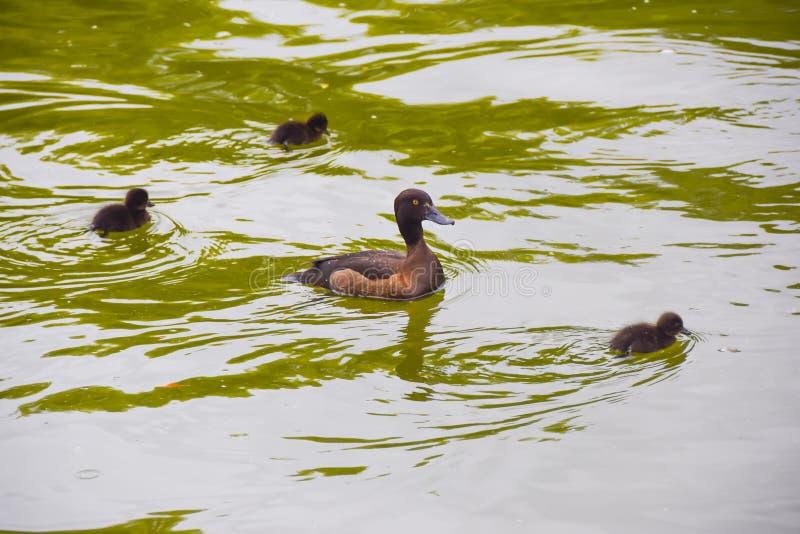 Μαύρη καφετιά μητέρα παπιών με τους μικρούς νεοσσούς σε μια πράσινη λίμνη wat στοκ φωτογραφία με δικαίωμα ελεύθερης χρήσης