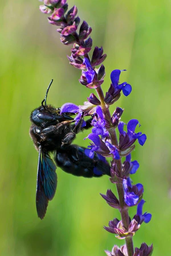 Μαύρη μέλισσα ξυλουργών Καλιφόρνιας που ψάχνει το νέκταρ στα λουλούδια στοκ φωτογραφία με δικαίωμα ελεύθερης χρήσης