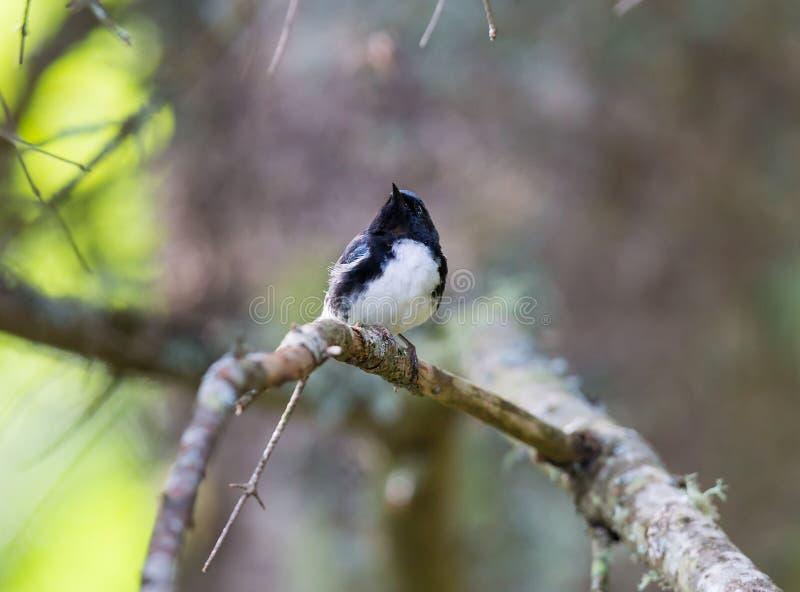 Μαύρη μπλε συλβία Throated στοκ φωτογραφία με δικαίωμα ελεύθερης χρήσης