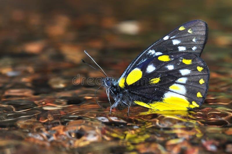 μαύρη πεταλούδα κίτρινη στοκ φωτογραφίες με δικαίωμα ελεύθερης χρήσης