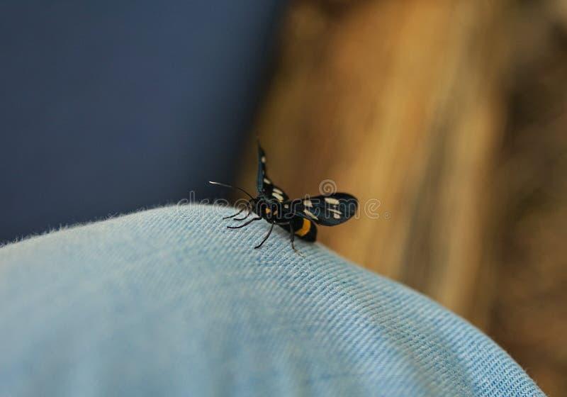 Μαύρη πεταλούδα που στέκεται στο πόδι που ντύνεται στα τζιν στοκ εικόνες με δικαίωμα ελεύθερης χρήσης