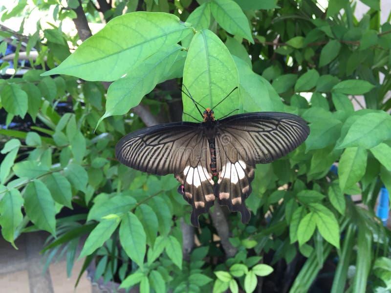 μαύρη πεταλούδα στοκ φωτογραφίες