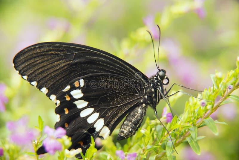 μαύρη πεταλούδα swallowtail στοκ εικόνα