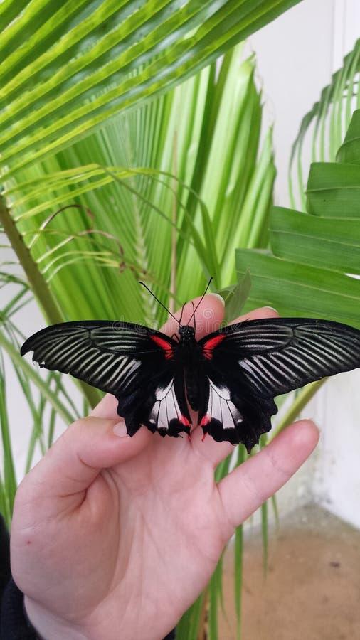 Μαύρη πεταλούδα με τα άσπρα σημάδια φτερών στοκ εικόνες με δικαίωμα ελεύθερης χρήσης