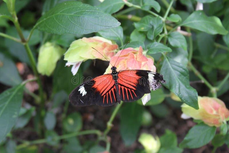 Μαύρη πορτοκαλιά & άσπρη πεταλούδα στο ζωολογικό κήπο του Saint-Louis στοκ φωτογραφία