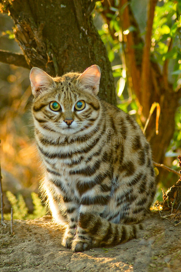 Μαύρη πληρωμένη γάτα Felis nigripes στοκ φωτογραφία με δικαίωμα ελεύθερης χρήσης