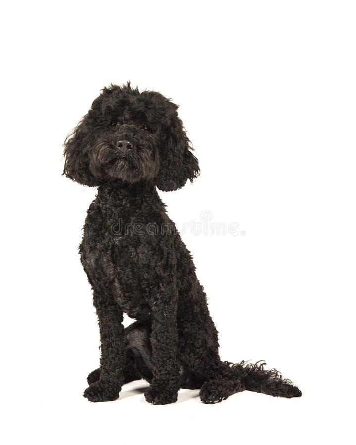 Μαύρη συνεδρίαση σκυλιών labradoolde και εξέταση τη κάμερα που απομονώνεται στοκ φωτογραφία