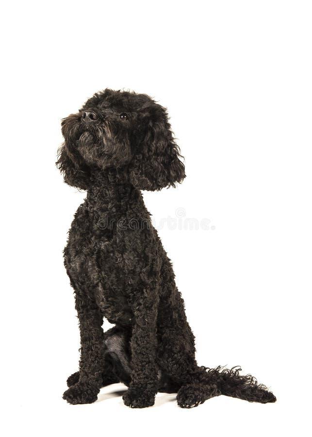 Μαύρη συνεδρίαση σκυλιών labradoolde και να φανεί επάνω βλέποντας από την πλευρά στοκ φωτογραφία με δικαίωμα ελεύθερης χρήσης