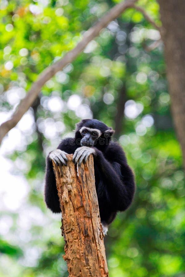 Μαύρη συνεδρίαση δέντρων αγκαλιάσματος gibbons μόνη στοκ φωτογραφία με δικαίωμα ελεύθερης χρήσης