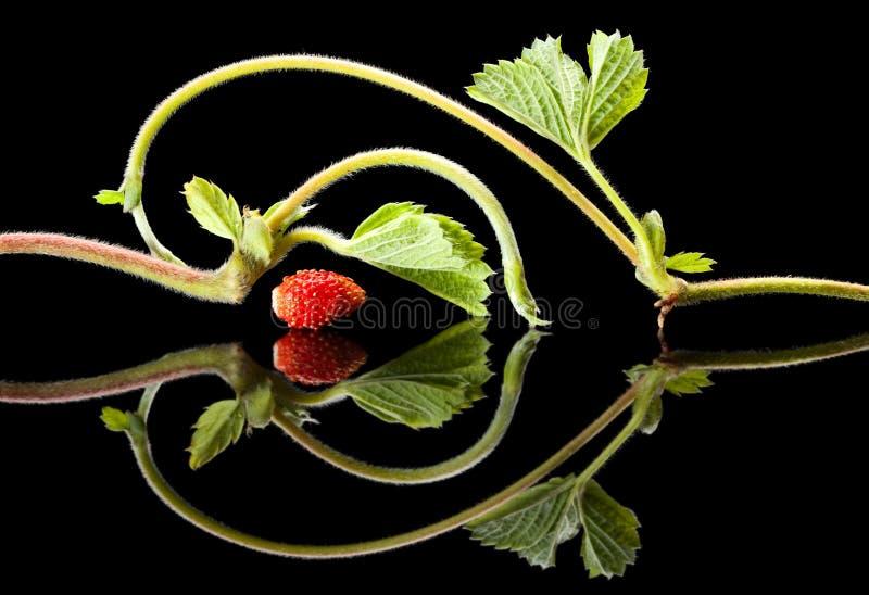 μαύρη φράουλα νεαρών βλασ&ta στοκ εικόνες