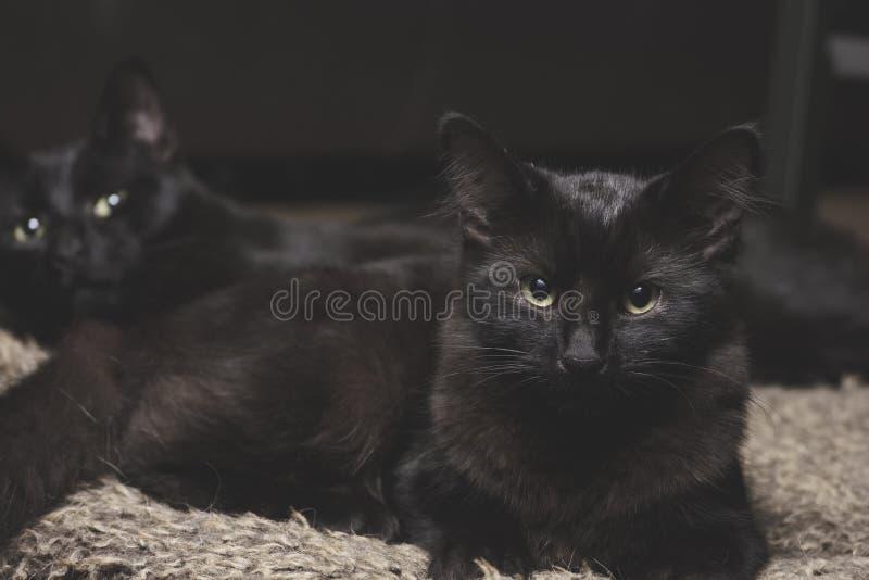 Μαύροι αμφιθαλείς γατών στοκ εικόνα