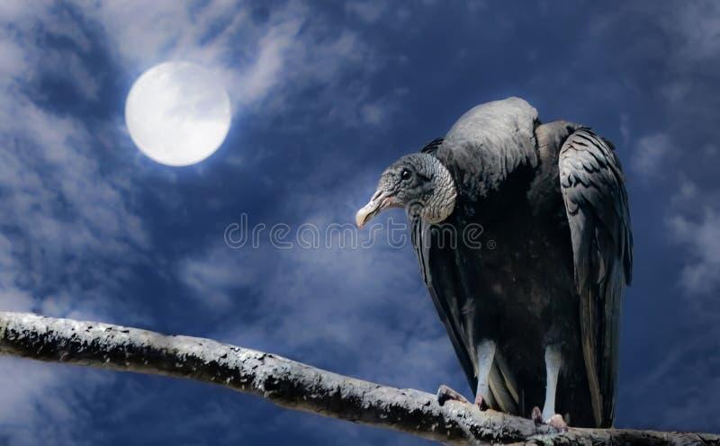 Μαύροι γύπας και πανσέληνος στοκ φωτογραφίες με δικαίωμα ελεύθερης χρήσης