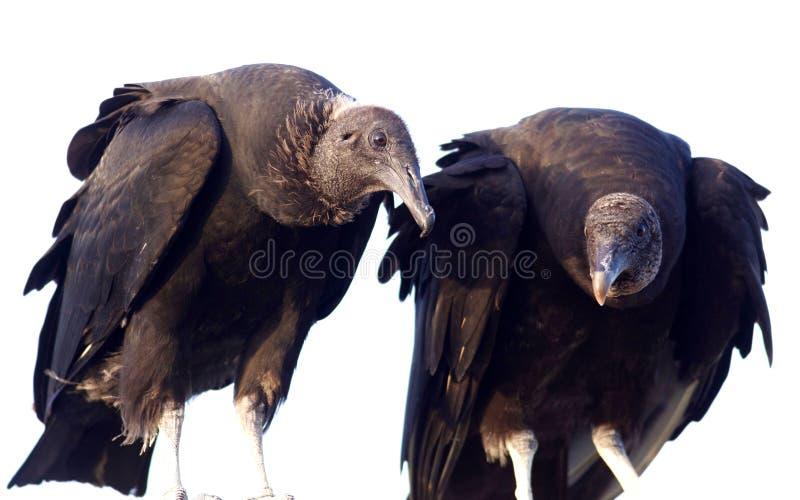 Μαύροι γύπες στο Everglades στοκ εικόνες