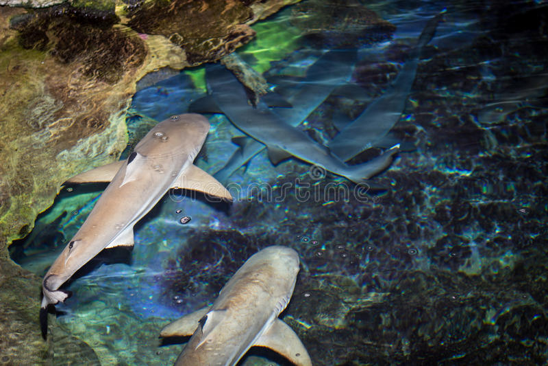 Μαύροι καρχαρίες ακρών στοκ φωτογραφίες