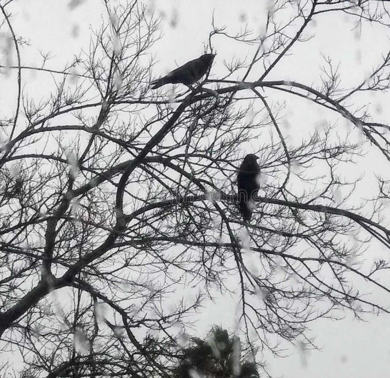 Μαύροι κόρακες στη βροχή στοκ φωτογραφία με δικαίωμα ελεύθερης χρήσης