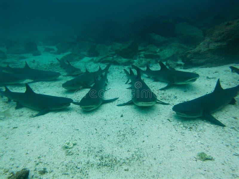 Μαύροι τοποθετημένοι αιχμή καρχαρίες σκοπέλων, Galapagos νησιά, Ισημερινός στοκ εικόνες