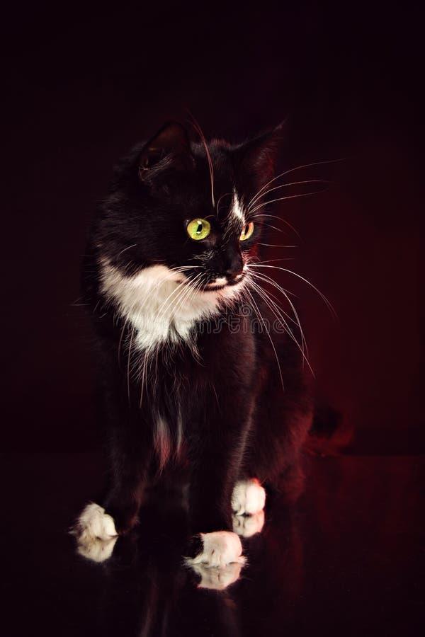 Μαύρος-άσπρη γάτα με το μακρύ μουστάκι στοκ φωτογραφίες με δικαίωμα ελεύθερης χρήσης