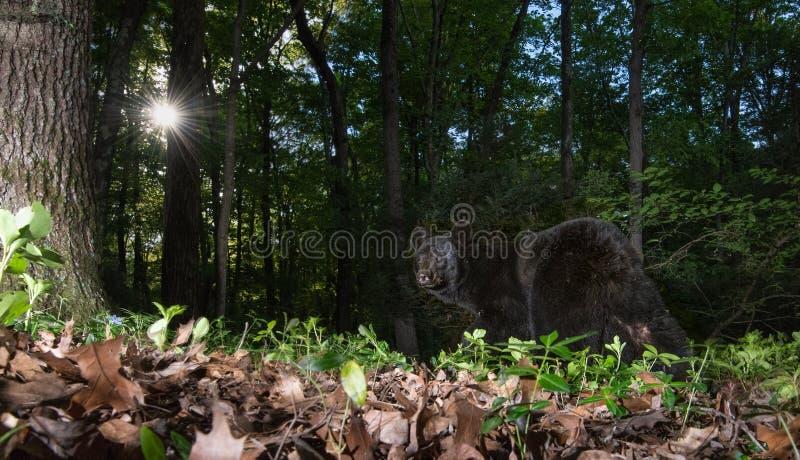 Μαύρος αντέξτε στην Πενσυλβανία στοκ φωτογραφία