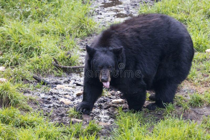 Μαύρος αντέξτε τρώγοντας στοκ φωτογραφία με δικαίωμα ελεύθερης χρήσης