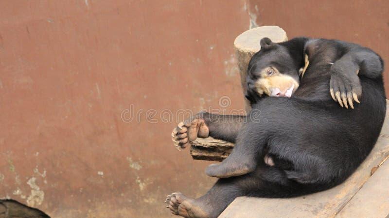 Μαύρος αντέξτε cub στο ζωολογικό κήπο στοκ εικόνες