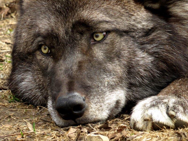Μαύρος/γκρίζος λύκος στοκ εικόνα