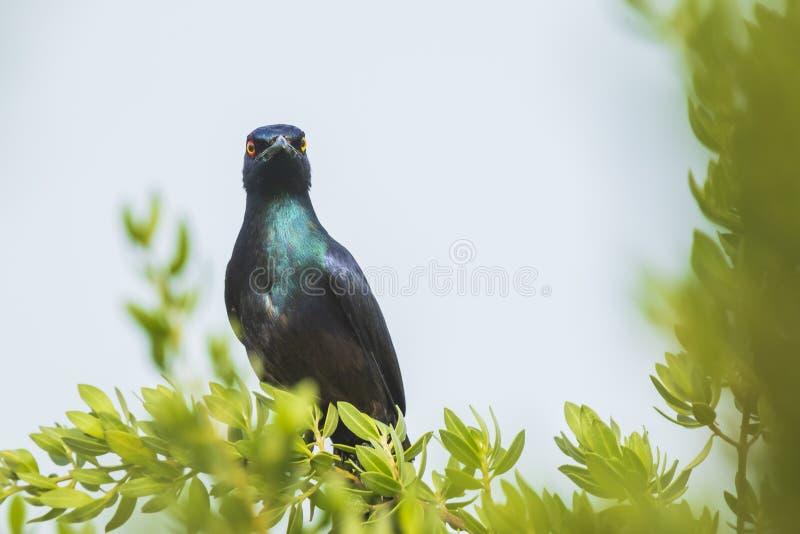 Μαύρος-διογκωμένο στιλπνό corruscus Lamprotornis πουλιών ψαρονιών perche στοκ φωτογραφία