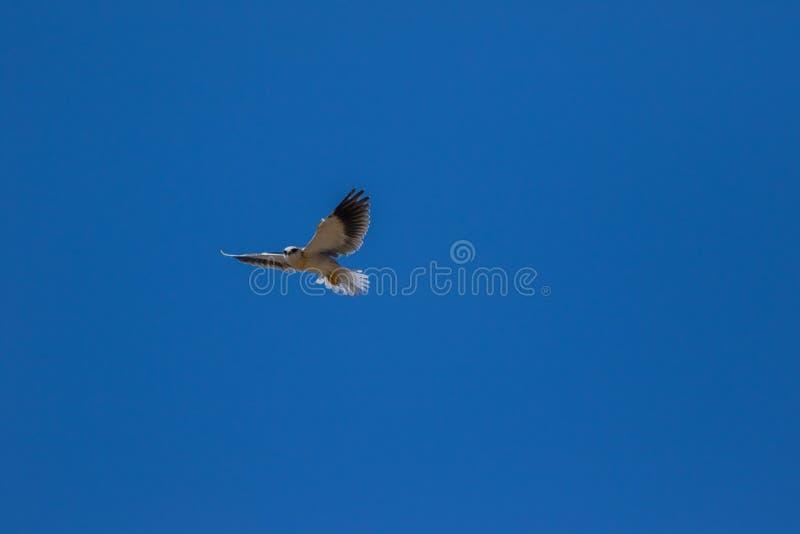 Μαύρος-επωμισμένος ικτίνος ή μαύρος-φτερωτός ικτίνος που πετά γύρω σε έναν μπλε ουρανό στοκ εικόνα με δικαίωμα ελεύθερης χρήσης