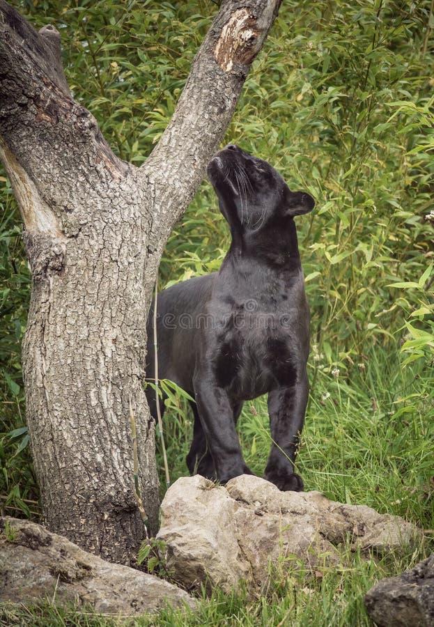 Μαύρος ιαγουάρος στοκ φωτογραφία με δικαίωμα ελεύθερης χρήσης